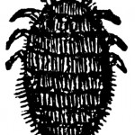 Drawing of Cochineal Beetle