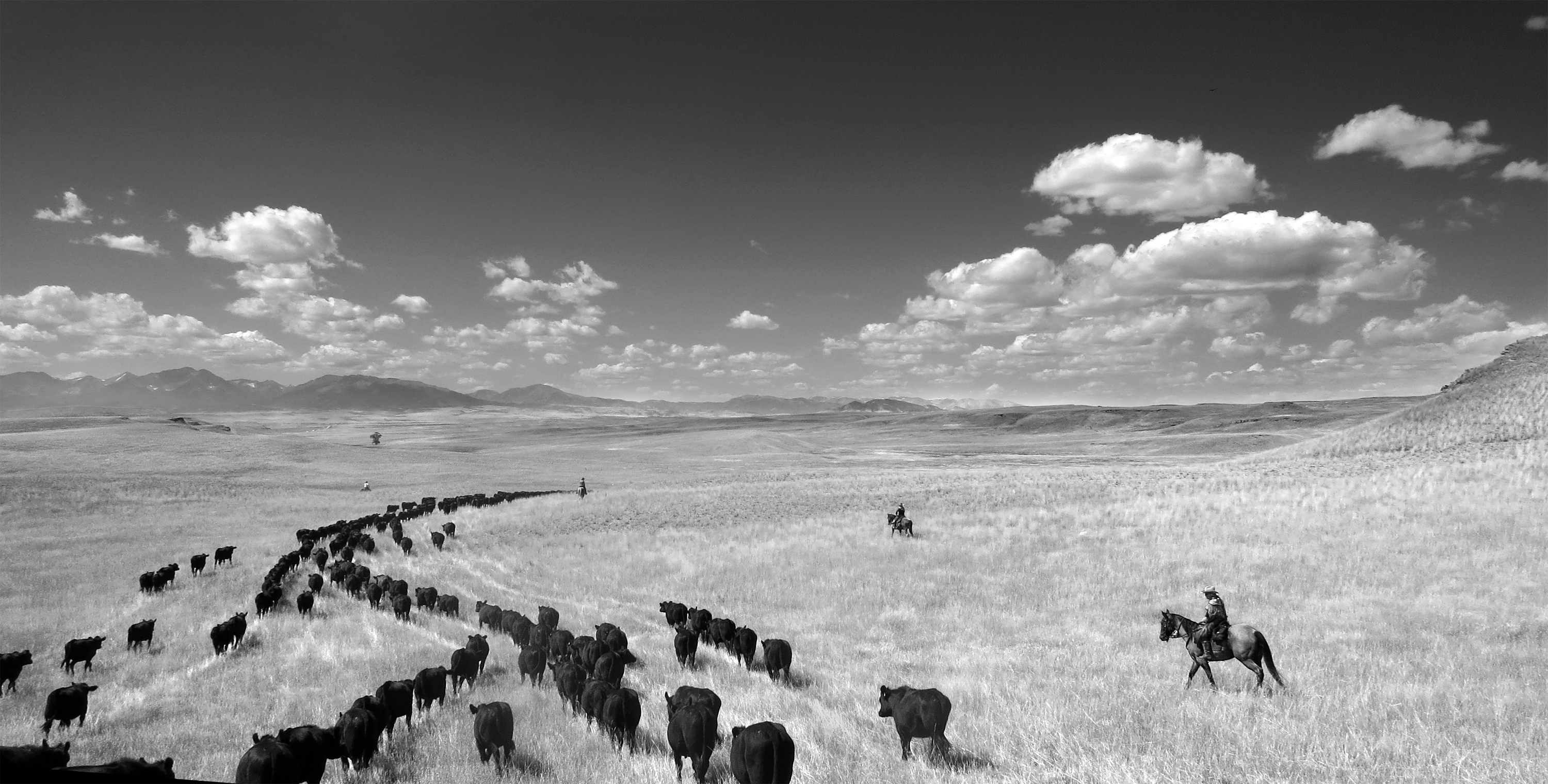 Cow Country-Wet Spring Grass ©2014
